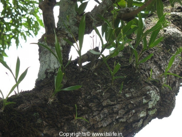 Orchid Polystachya Concreta