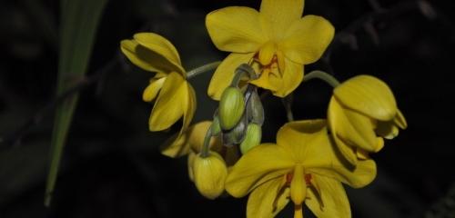 Orchid Spathoglottis Plicata