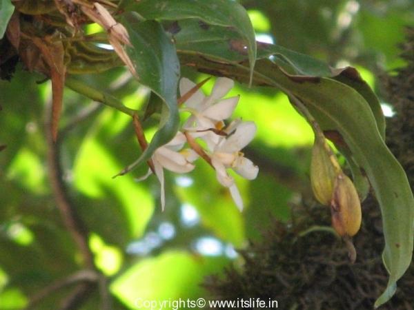Orchid Coelogyne Nervosa