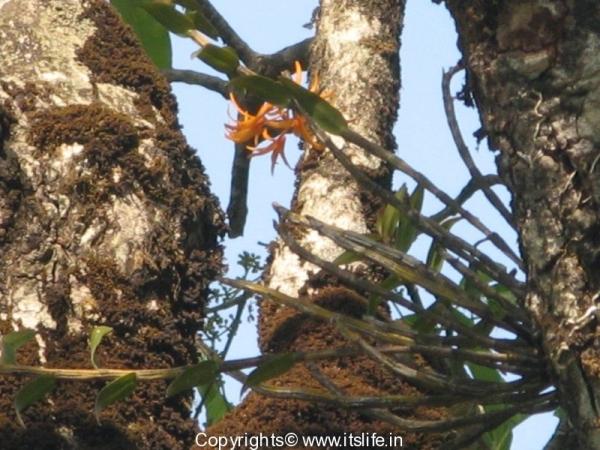 Orchid Dendrobium Nutantiflorum