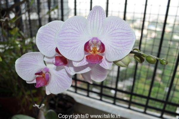 gardening-orchids-phal-2
