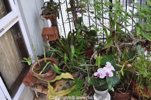 gardening-orchids-phal