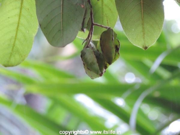 Arjuna Tree Fruit