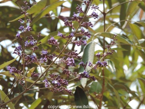 Monk's Pepper Tree