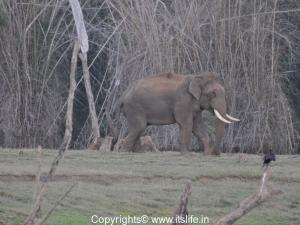 Bamboo in Kabini - Elephant