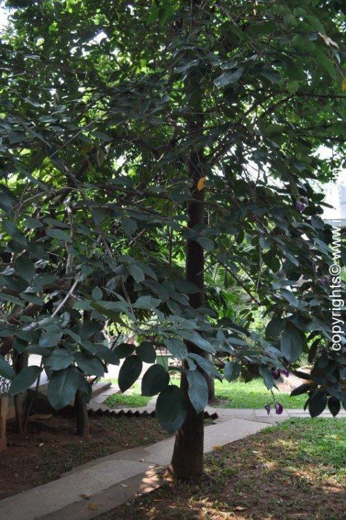 Butterfly Pea Tree