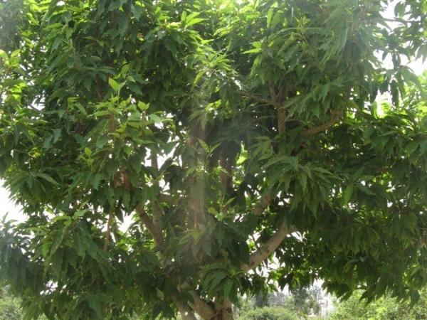 Champaka Tree