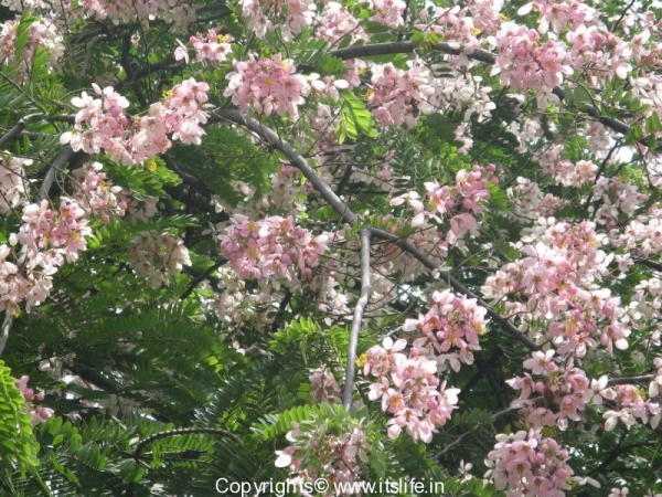 Coral Shower Tree