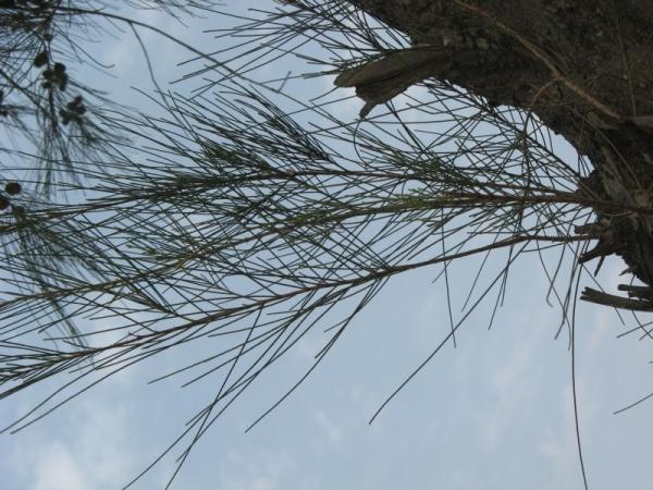 Devadaru Tree