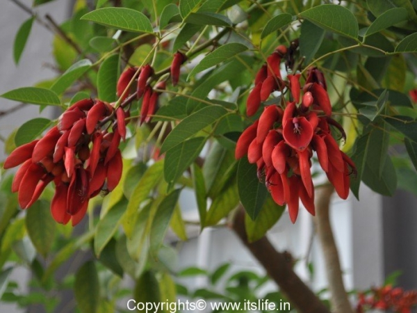 Erythrina Coral Tree