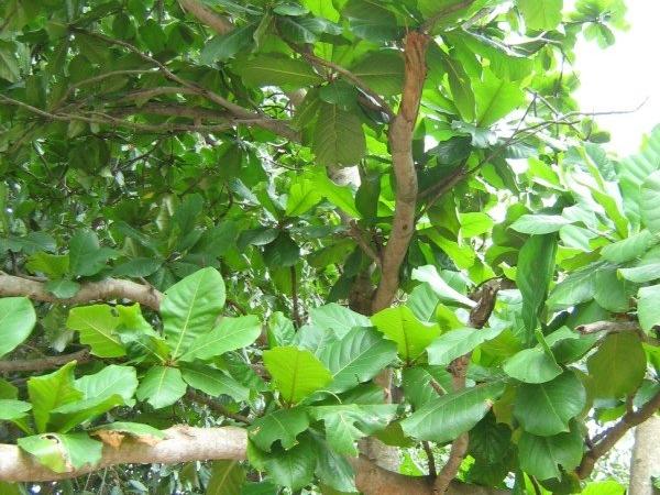 Indian Almond Tree