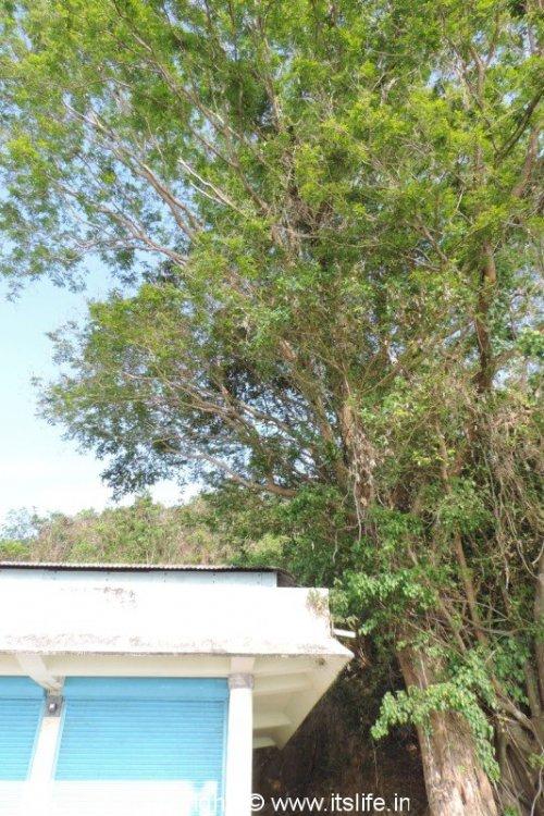Padauk Tree