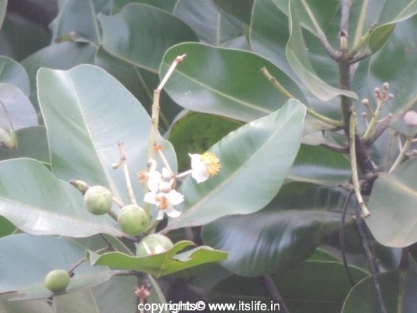 Punnaga Tree