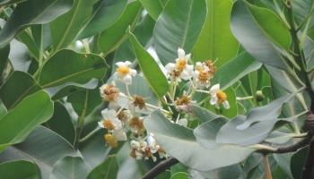 Naga Champa Treee