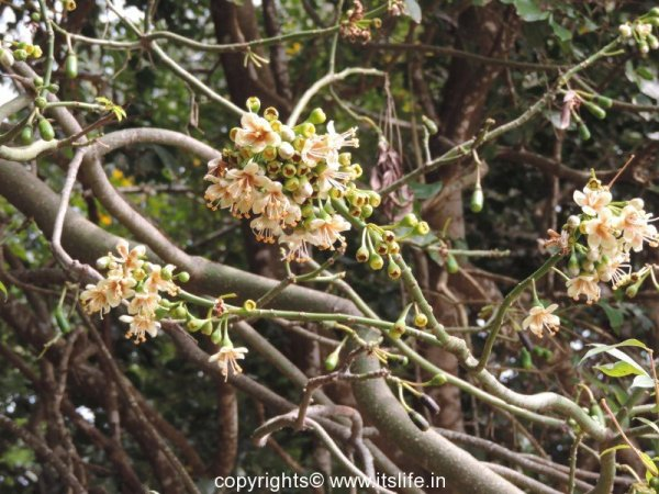 Silk Cotton Tree