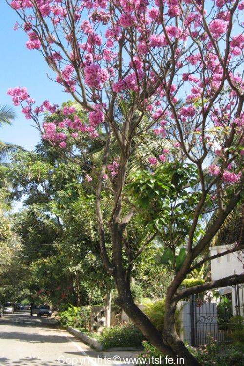 Pink Tabebuia Impetiginosa