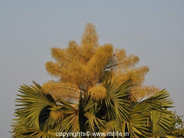 Talipot Palm Tree