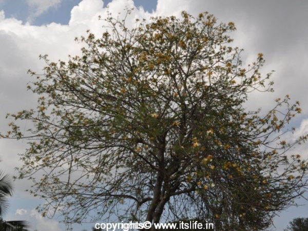 White Gulmohar Tree