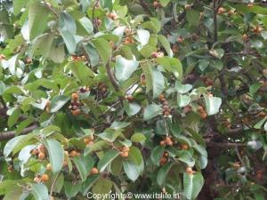 Banyan Yellow Fruits