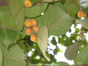 Banyan Fruits
