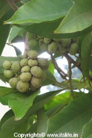 Champaka Tree Fruits