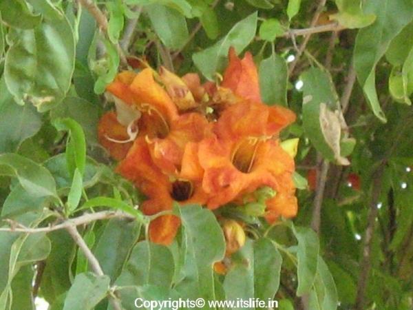 Roheda Flower