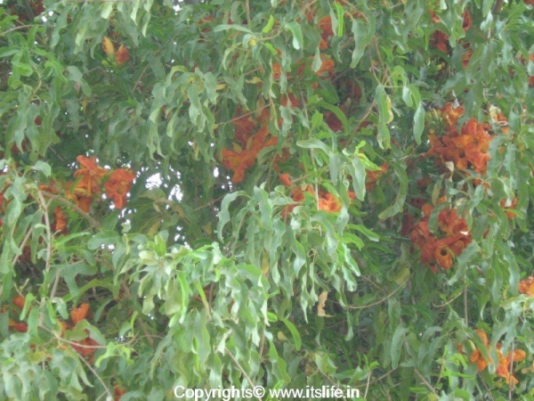 State tree of Rajasthan