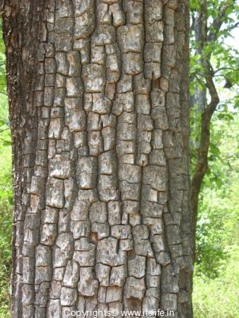 Crocodile Bark Tree