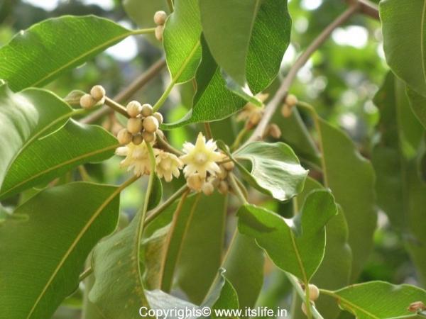 Bakula Tree