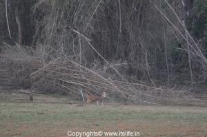 Bamboo in Kabini - Deer