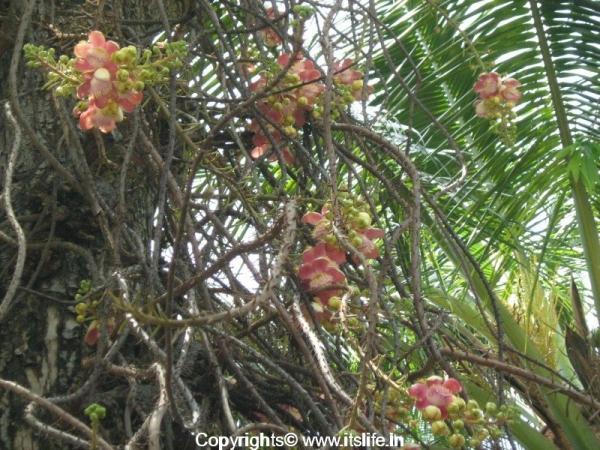 Cannon Ball Tree - Nagalinga Hoovu