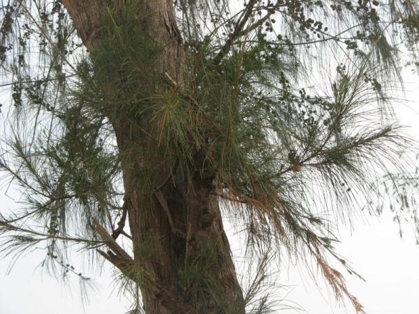 Deodar Tree