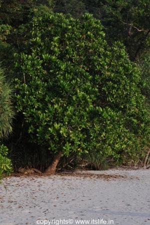 Sea Poison Tree
