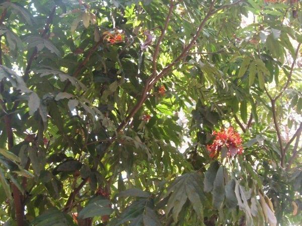 Sarasca Ashoka Tree