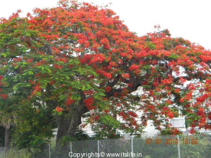 Gulmohar Tree Flamboyant Tree Poinciana Tree Flame