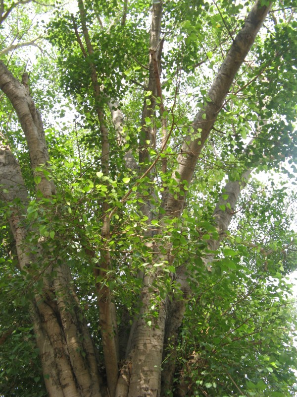 essay on peepal tree Peepal tree is considered highly sacred, as people are of the belief that lord  vishnu and many other gods used to reside underneath it peepul plant is  regarded.