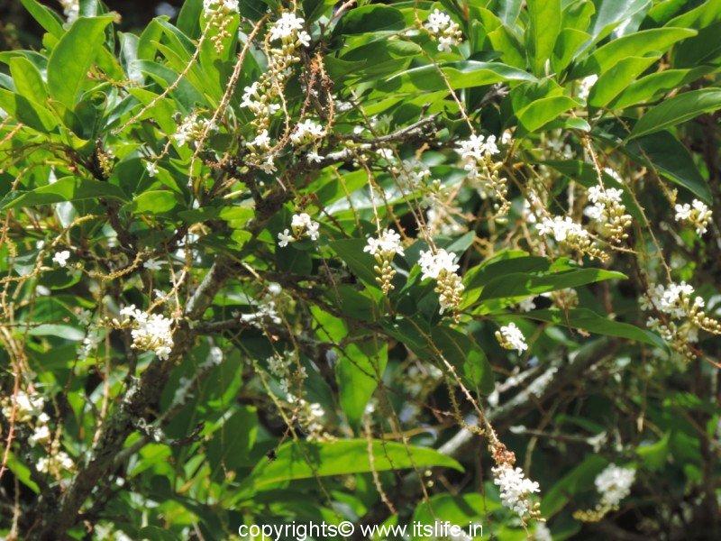 Fiddlewood tree gardening flowering trees din ka raja fiddlewood tree mightylinksfo