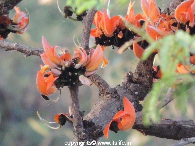 Palash Tree | Butea Monosperma | Dhak | Bastard Teak TreePalash Flower