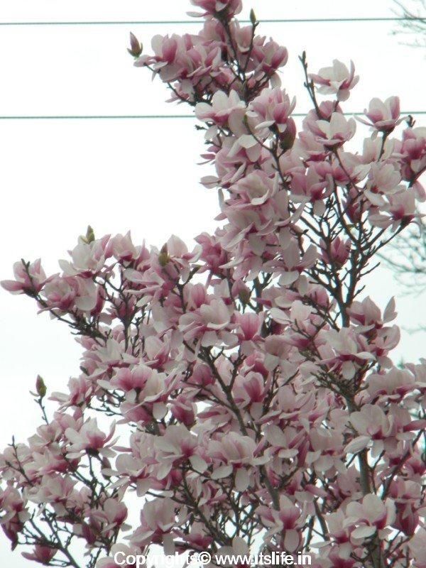 Saucer Magnolia Spring In Atlanta Alexandrina Magnolia