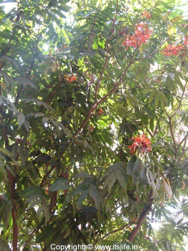 Saraca Asoca – Ashoka Tree   Gardening Trees   Sacred Trees