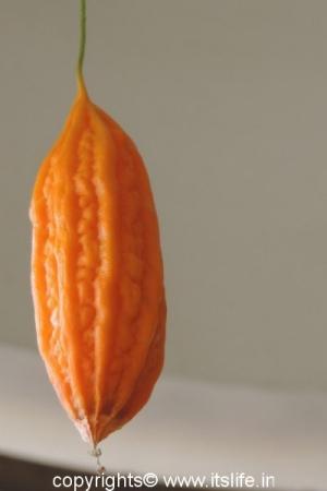 Ripe Bitter Gourd