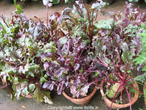 Beetroot Plant