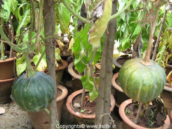 veg-sweet-pumpkin-2