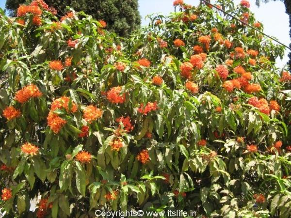 Asoka Tree