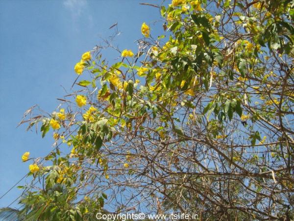 garden-chestnutleaf-trumpet-bush-1.jpg