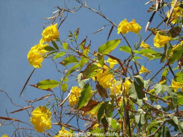 garden-chestnutleaf-trumpet-bush-2.jpg