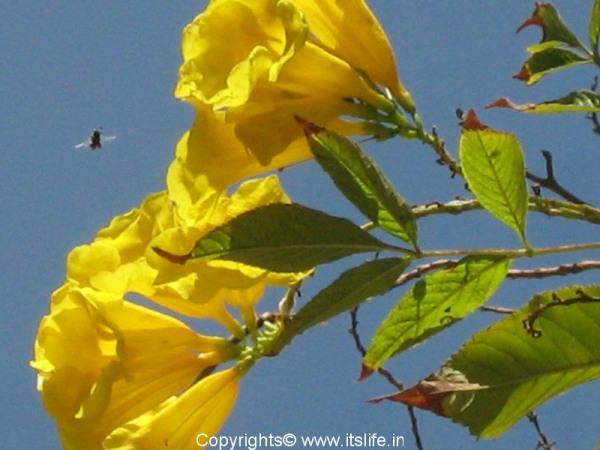 garden-chestnutleaf-trumpet-bush-3.jpg