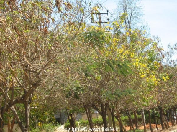 garden-chestnutleaf-trumpet-bush.jpg