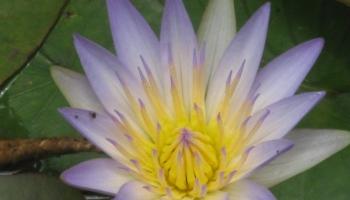 garden-lotus-lily