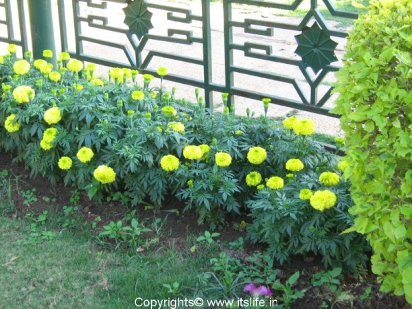 Marigold bed